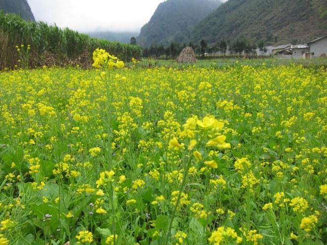 Hoa vàng rực